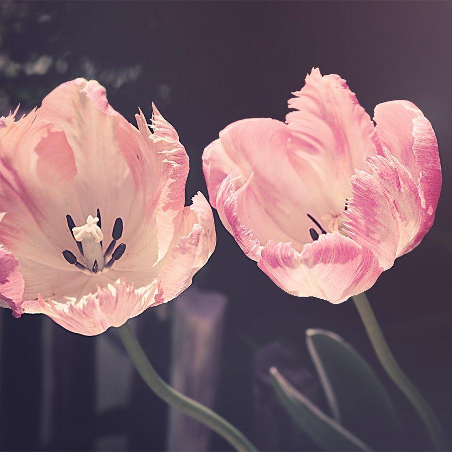 tulips-3339416_1920